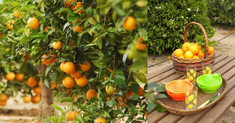 Sorteo Recogida Naranjas Huertos Del Turia