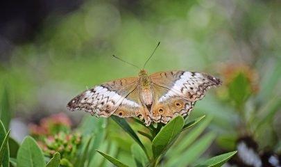 Mariposa Tancat Pipa
