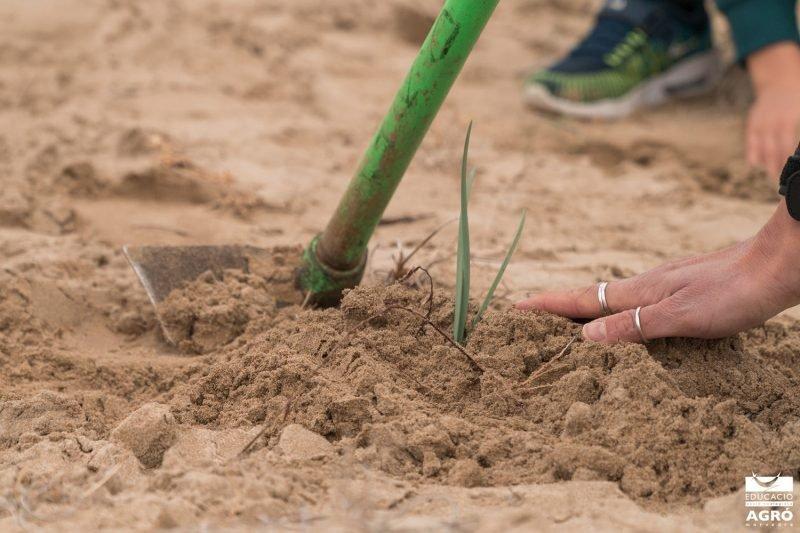 Colla Verda Plantacion Playa Sagunto 5